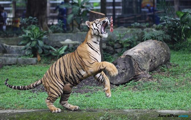 Sulit Jepret Macan Kenyang, Usul Daging Umpan Diberi Kecap