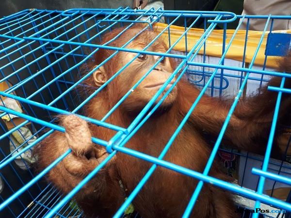 Warga Serahkan Individu Orangutan Jantan Malnutrisi ke BBKSDA Aceh