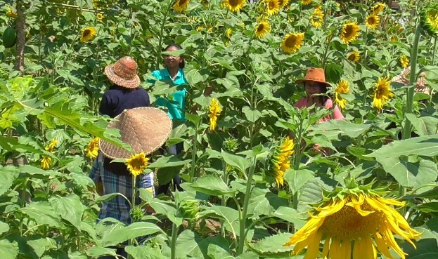 Simantri, Kebun bunga matahari, Pemkab Buleleng, Pemprov Bali, Spot Selfie,