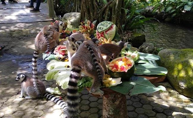 bali zoo, satwa liar, hari lemur sedunia