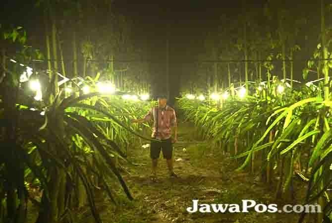 INOVASI: Petani mengamati kebun buah naga yang diterangi lampu listrik. Penerangan lampu listrik membuat tanaman buah naga berbuah meski bukan musimnya.