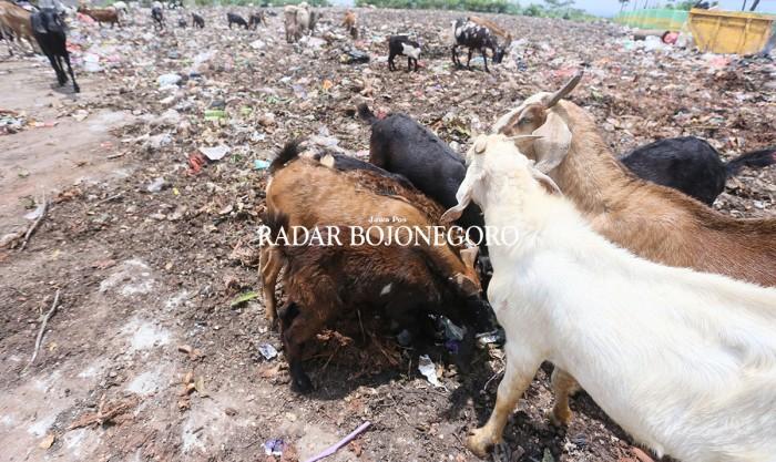 BAHAYA: Kambing mengonsumsi makanan dari tempat penampungan sampah.