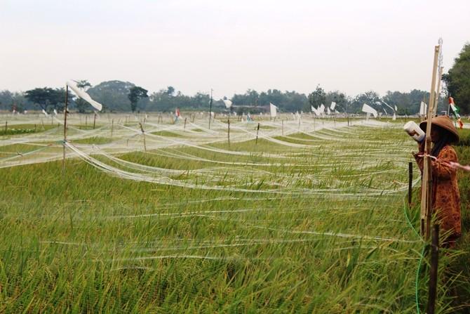 Jaring yang dipasang untuk mencegah serangan burung emprit di area persawahan Desa Sukorejo, Kecamatan Perak