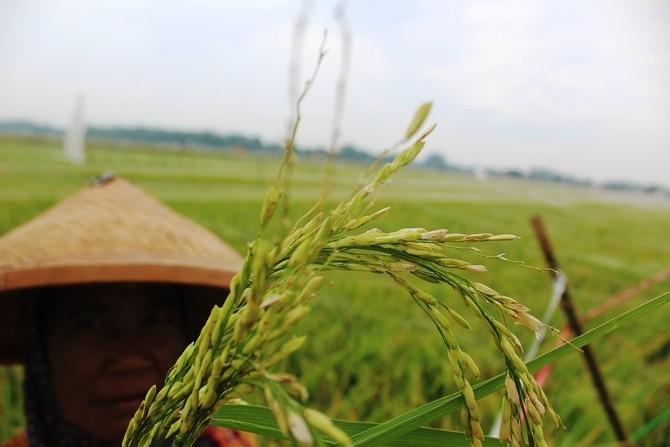 Salah satu petani di Desa Sukorejo, Kecamatan Perak, menunjukkan butiran padi yang hilang dimakan burung emprit
