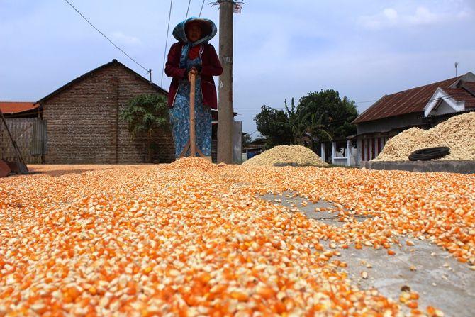 Maysaroh, petani asal  Dusun Beji, Desa Sawiji, Kecamatan Jogoroto sedang menjemur jagung di halaman rumah