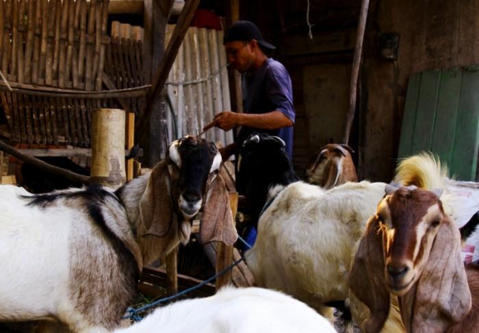 BELUM NAIK: Supriadi memberi pakan belasan ekor kambing miliknya. Jelang Idul Adha dia membuat lapak khusus hewan kurban di rumahnya di Desa Sugihwaras, Kecamatan Bagor.