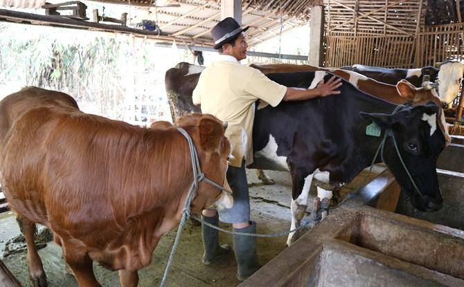BERTAMBAH: Purwanto, peternak, membersihkan badan sapi miliknya kemarin.