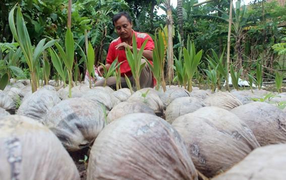 BIBIT MENCUKUPI: Salah satu petani di Desa Ngagel, Dukuhseti menyiapkan bibit kelapa kompyor kemarin.
