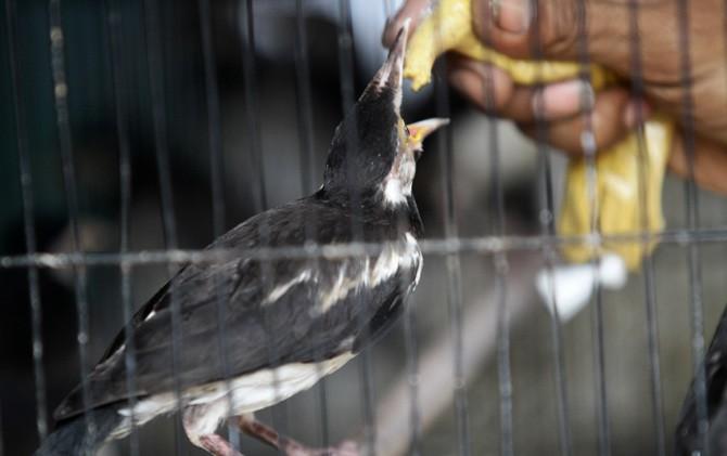 Pedagang memberi pakan burung Jalak Uren di Pasar Burung Kota Mojokerto.
