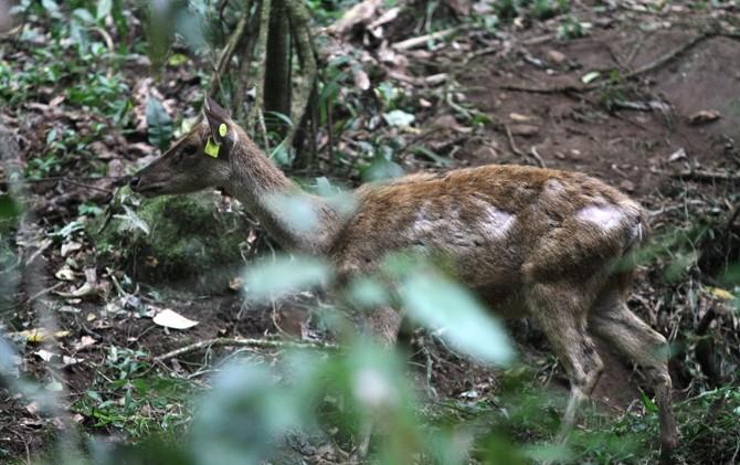 Seekor Rusa Timor yang baru dilepas di kawasan hutan R. Soerjo, Pacet, Kabupaten Mojokerto.