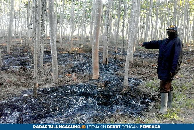 HANGUS: Salah seorang mandor Perkebunan PT Rotorejo Kruwuk menunjukkan sisa belukar yang terbakar, kemarin.