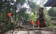 Pohon Bunut Raksasa Ratusan Tahun Tumbang Timpa Pelinggih Pura