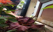Bunga Bangkai Depan Kantor LPD Hebohkan Warga