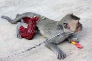 Balita Diserang Topeng Monyet, Pengawasan Orangtua Harus Lebih Ekstra