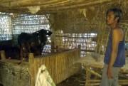 2 Sapi Warga Pohsangit Lor Dicuri, Ditemukan di Ladang Jagung