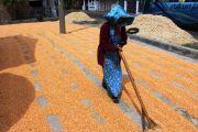 Stok Jagung Dinilai Cukup, Petani Jombang Merasa Tak Perlu Impor