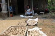 Harga Kemiri Naik, Petani di Hutan Panglungan Wonosalam Gembira