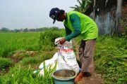 Jatah Pupuk Subsidi Dikurangi, Petani di Jombang Mengeluh