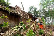 Efek Angin Ribut: Paling Parah di Balongjeruk Kunjang