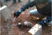 Gegerkan Warga, Ayam Pocong Dikubur Dangkal Dikira Mayat Bayi