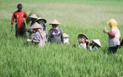 Petani Berharap Serapan Gabah Memuaskan