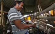 Ada Kampung Ternak di Pacet, Dihuni Ribuan Ekor Kambing