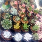 Kaktus Dan Sukulen Mini Kab Sidoarjo Jualo