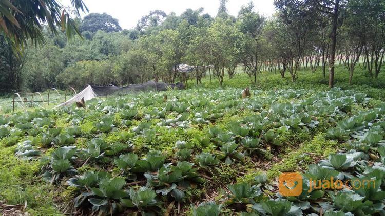 investasi tanah murah kavling produktif lokasi terbaik puncak cipanas