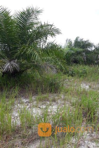 lahan sawit luas 14 ha daerah belitung