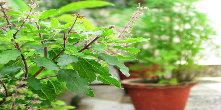 5 Things You Should Never Ever Do to Tulsi Leaves!- khoobsurati