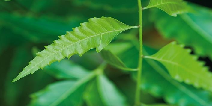 Neem Blätter; Neem sheets