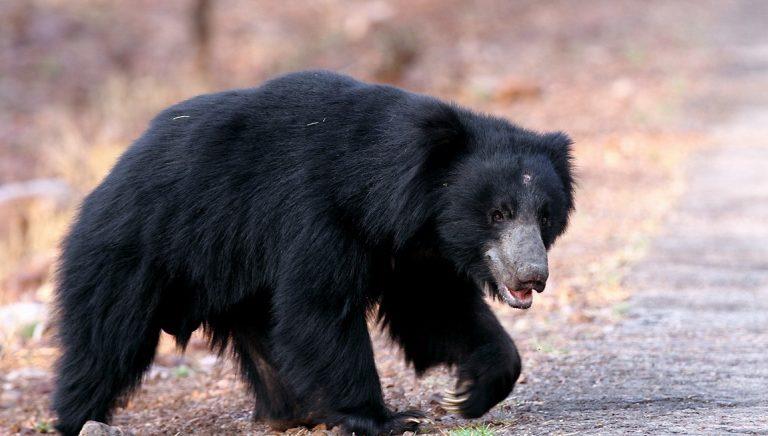 sloth-bear-tadoba-natinoal-park-Kesari-Tours