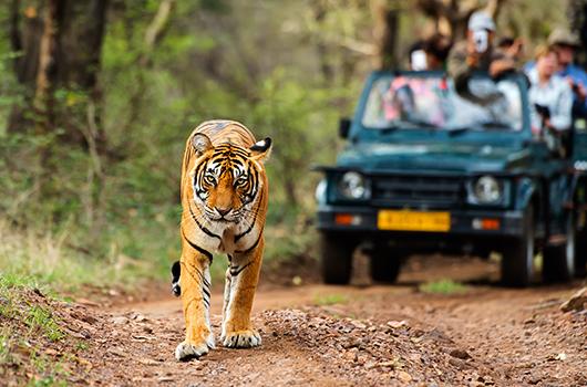 tiger-safaris-4-Kesari-Tours