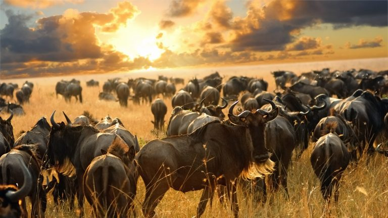 The Great Wildebeest Migration | Kenya safari packages kesari