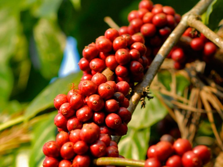 Coffee-Bean-Coorg-Plantation-Kesari-Tours