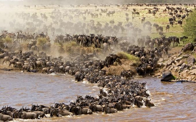 Wild beast crossing river Mara