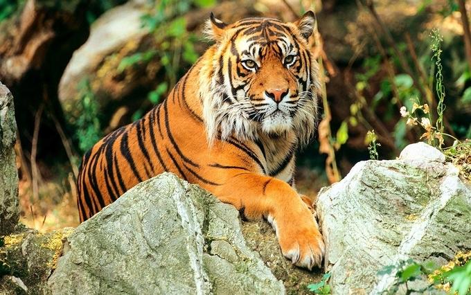 International Tiger Day - Sundarbans Royal Bengal Tiger