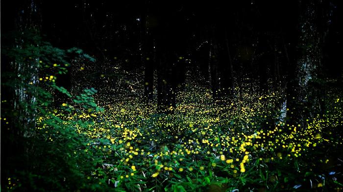 Bintan mangrove firefly tour discount offer promotion for Firefly lights urban