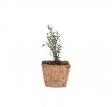 Rosemary D-I-Y Garden Kit