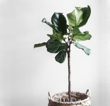 Indoor Plant: Fiddle-leaf Fig Tree