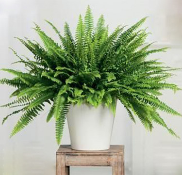 Indoor Plant: Boston Ferns