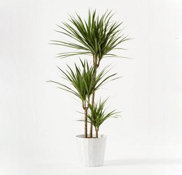 Indoor Plant: Yucca