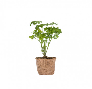 Parsley D-I-Y Garden Kit