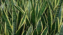 Snake_Plant_Sansevieria_trifasciata_Laurentii___20190418051854___.jpg