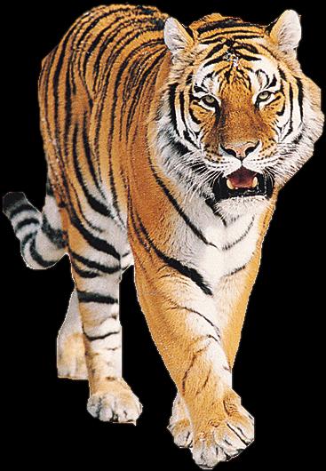 tiger_PNG545_16102017022734.png