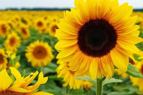 Bunga Matahari Indo Ranking
