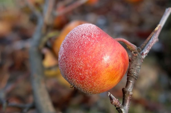 霜降後,蜜蘋果成熟