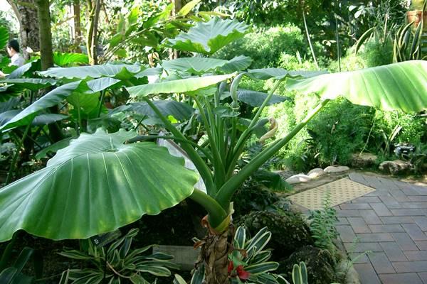 許多校園造景都能看到姑婆芋的蹤影,其根莖及葉當中及含有大量的草酸鈣毒素成分,是孩童植物中毒的第一名。