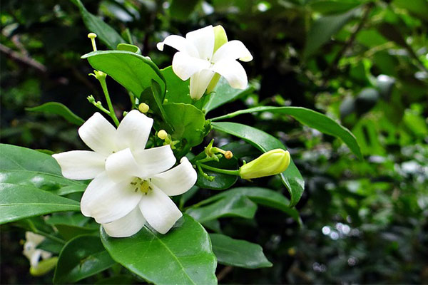 七里香驅蚊植物