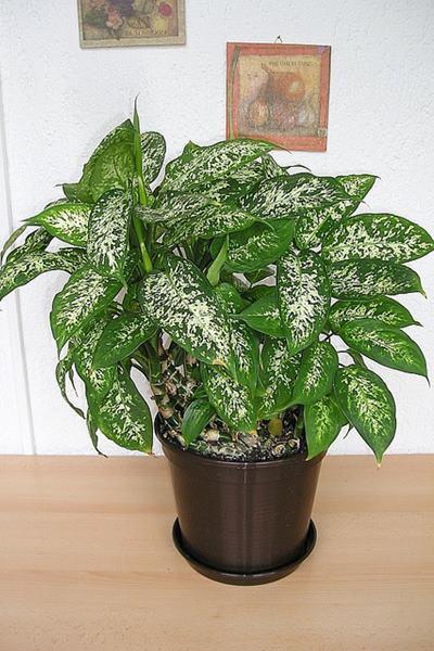 黛粉葉經常種植於室內,其花葉及莖都含有草酸及毒性蛋白質,一旦接觸皮膚就會奇癢無比。